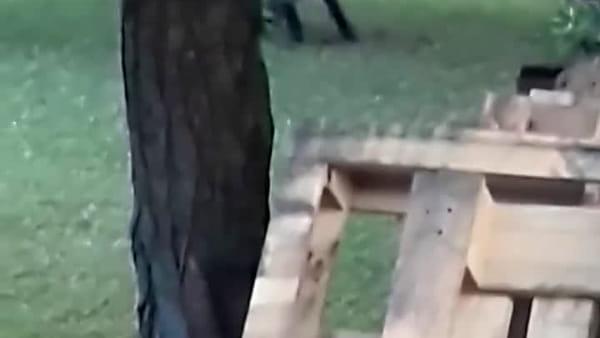 Video I Il cinghiale passeggia indisturbato nel giardino di una casa