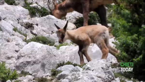 VIDEO I Nuovi nati nel parco nazionale della Majella: sono due piccoli camosci