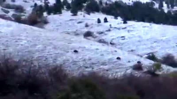 Mandria di cinghiali cerca da mangiare tra la neve